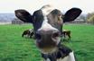 Cow 1K